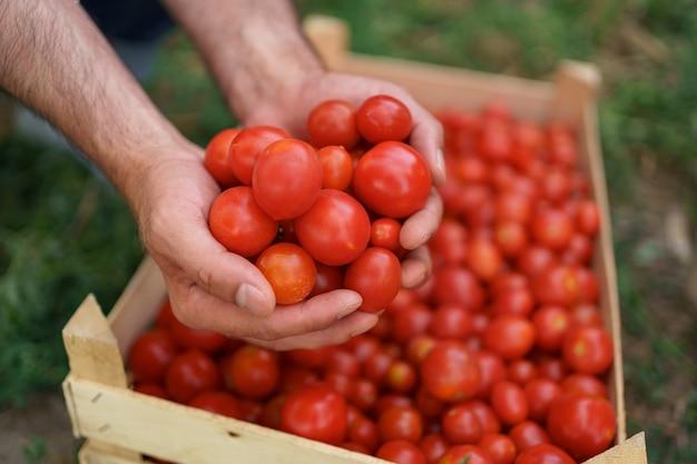 Cerca de las manos del granjero sosteniendo en sus manos tomates orgánicos frescos sobre una caja de tomates. comida sana