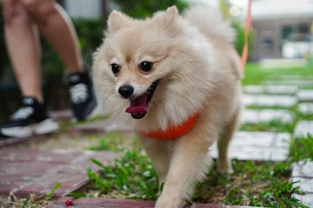 De cerca en la mascota, el dueño de la mascota camina con una raza de perro pequeño o pomerania