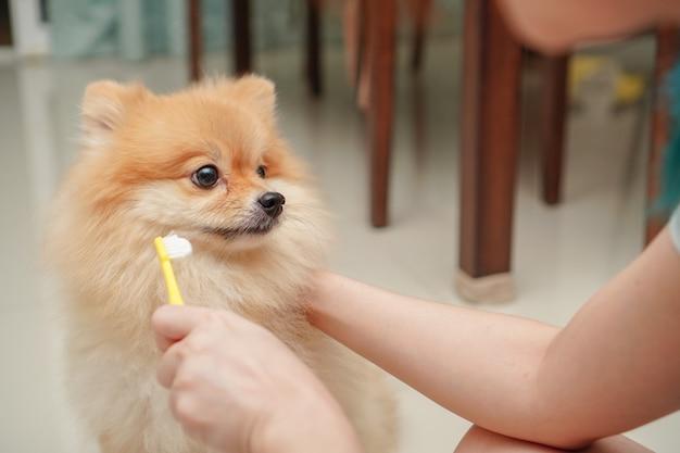 De cerca en la mascota, raza de perro pequeño para pomerania, está de pie en el piso de granito y el propietario se prepara para cepillarse los dientes de las mascotas
