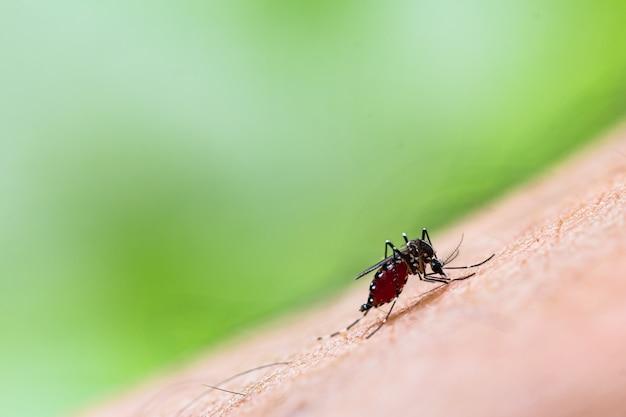 Cerca de un mosquito chupando sangre humana
