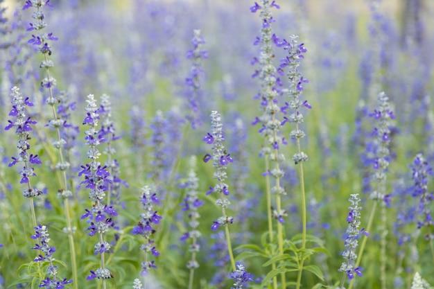 Cerca de la naturaleza violeta púrpura flor azul sobre fondo verde hoja borrosa bajo la luz solar
