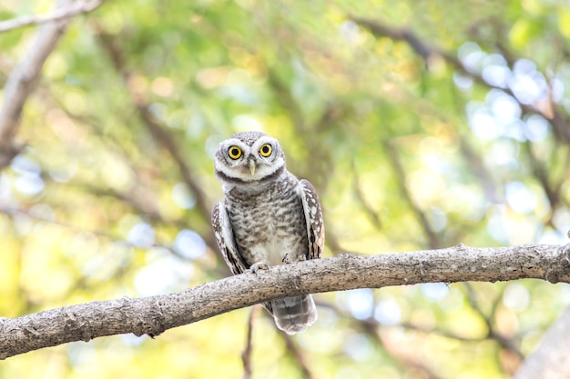 Cerca de owlet manchado (athene brama) mirando en la naturaleza