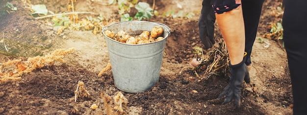 Cerca de patatas en manos masculinas sucias