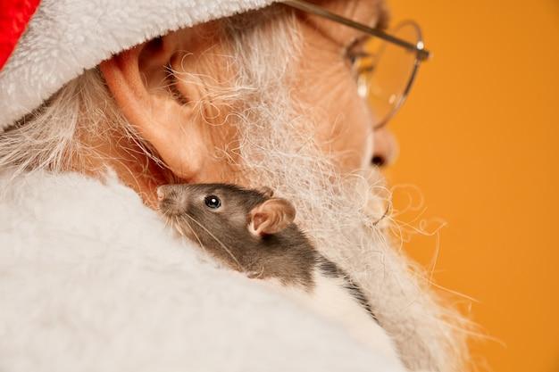 Cerca de la pequeña rata gris sentada en el hombro de santa claus