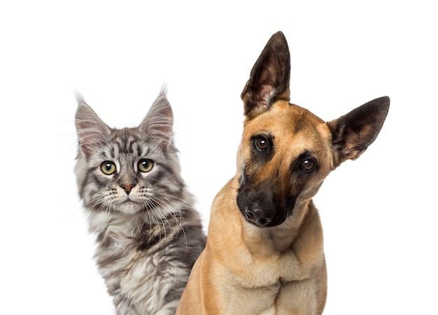 Cerca de un perro pastor belga y un gato