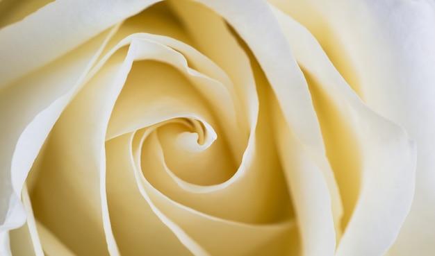 Cerca de pétalos de rosas blancas. enfoque selectivo. fondo de flores