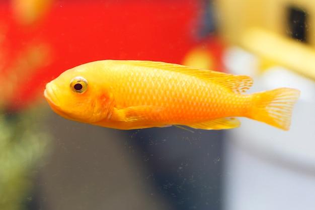 Cerca de un pez dorado en un acuario, vista lateral