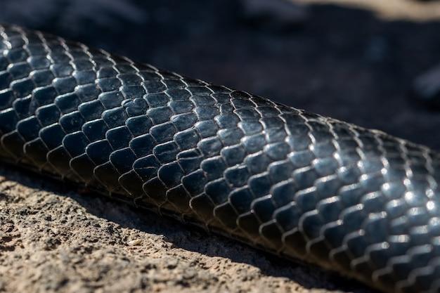 Cerca de las pieles y escamas de una serpiente látigo occidental negra