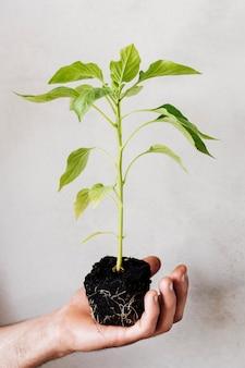 Cerca de la planta joven celebrada en la mano