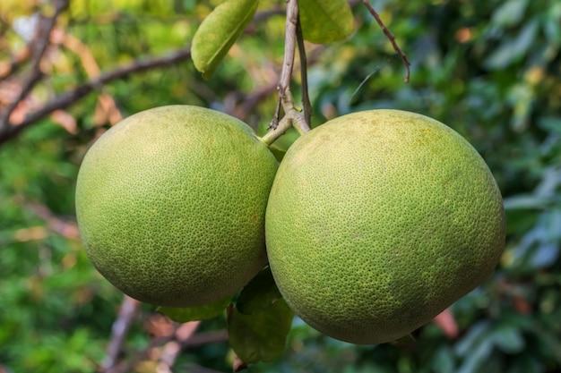 Cerca de pomelo verde en árbol