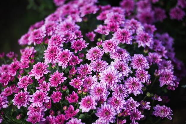 Cerca de racimo flor rosa crisantemo púrpura hermosa textura de fondo / flores de crisantemo floreciente decoración festival celebración