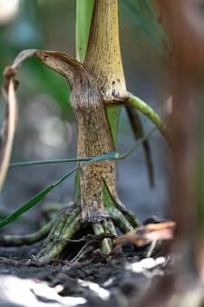 Cerca de la raíz de una planta de maíz.