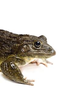 Cerca de rana aislado sobre una superficie blanca