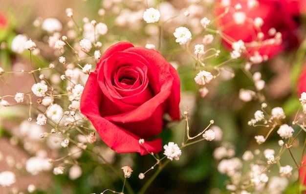 Cerca de una rosa roja rodeada de flores de aliento de bebé