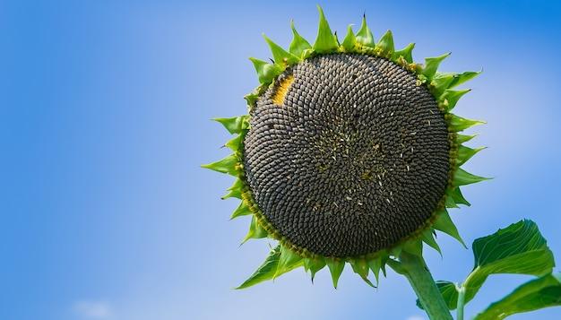 Cerca de las semillas en girasol.