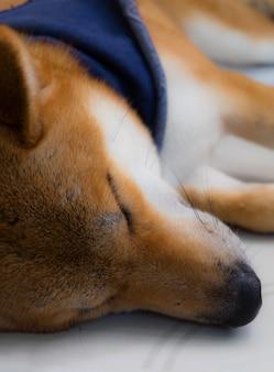 Cerca de shiba inu un perro de japón con bufanda en color azul para dormir