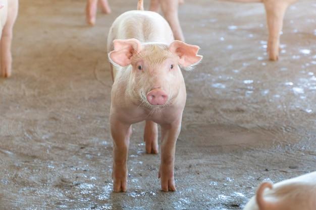Cerdito que se ve saludable en una granja de cerdos asean local.