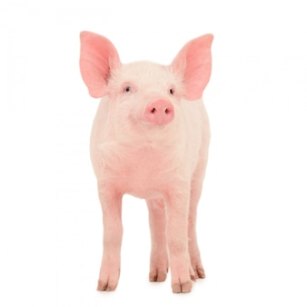 Cerdo aislado
