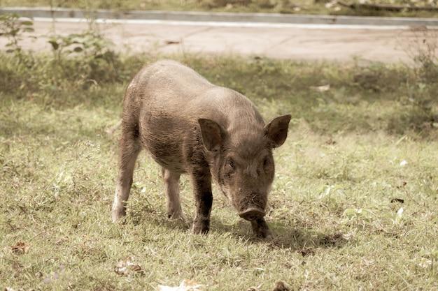 El cerdo camina para comer hierba