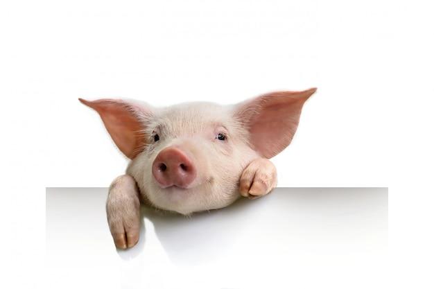 Cerdo colgando sus patas sobre una pancarta blanca