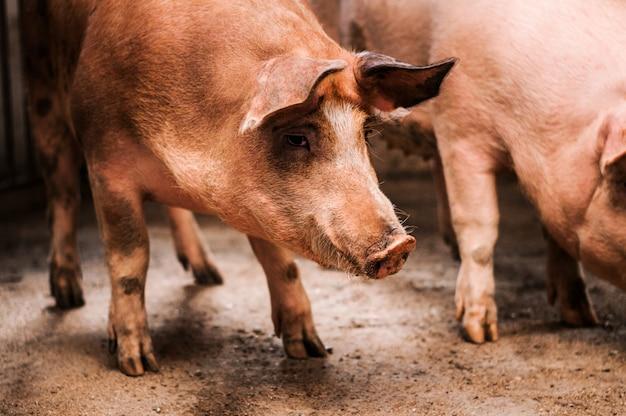 Cerdo en la granja de cría de cerdos