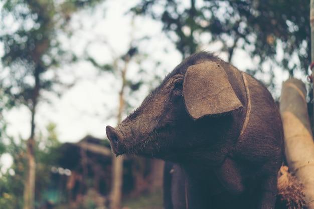 Cerdo negro en granja local, tailandia
