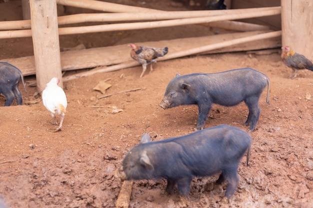 Cerdo negro en orzuelo en la granja.