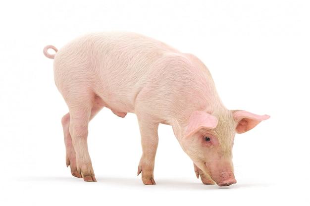 Cerdo oliendo el piso