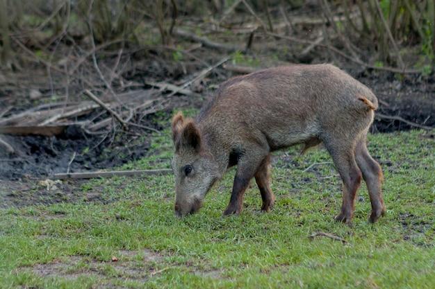 Cerdo pequeño salvaje contento pastando en la hierba