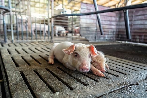 Cerdo recién nacido en granjas porcinas, industria animal y porcina.