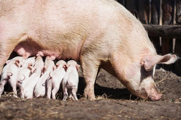 Cerdos en la granja. pequeños lechones con madre. casa. mascotas encantadoras