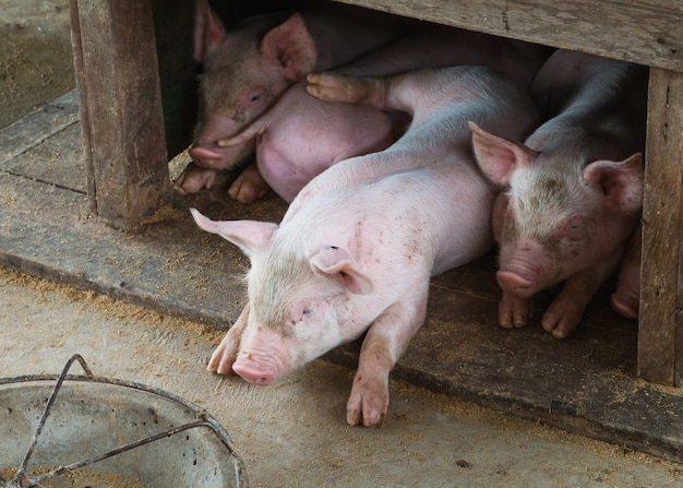Cerdos pequeños en la granja