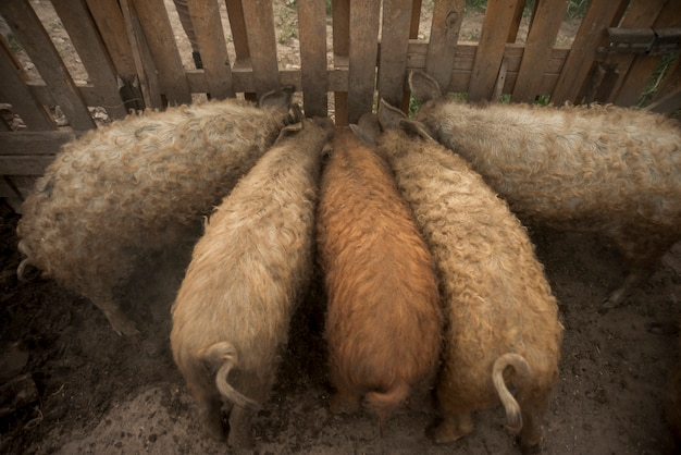 Cerdos en la pocilga de una granja