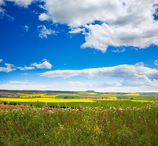 Cereales de primavera en los campos de castilla.
