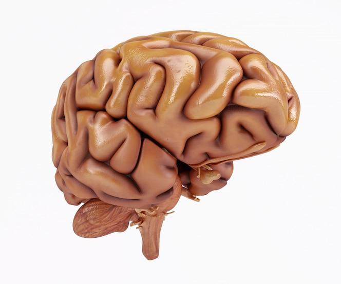 Cerebro en 3d