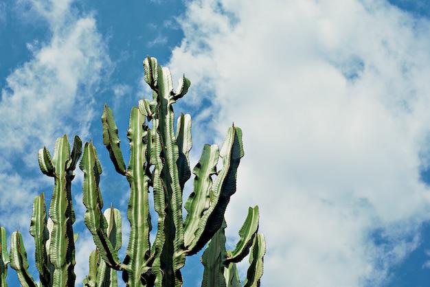 Cereus cactus tronco contra el cielo azul,