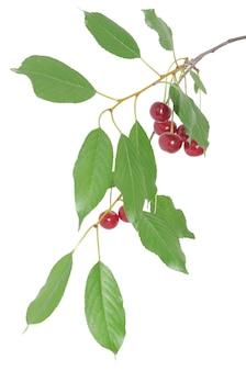 Cerezas en la rama aislado sobre fondo blanco.