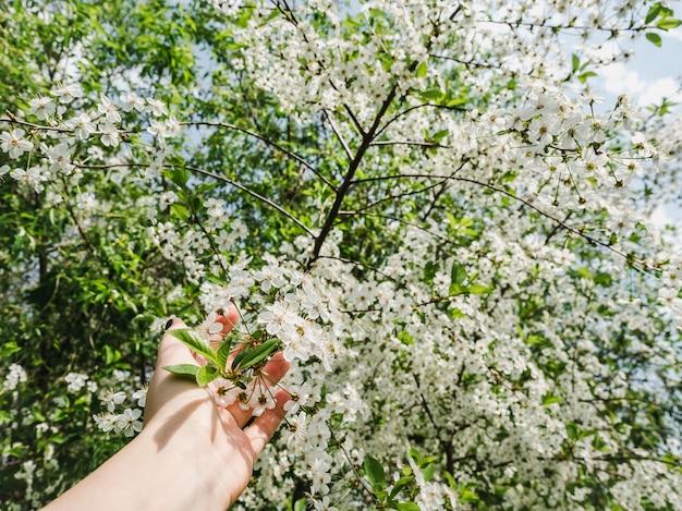 Cerezo en flor en el cálido sol de primavera