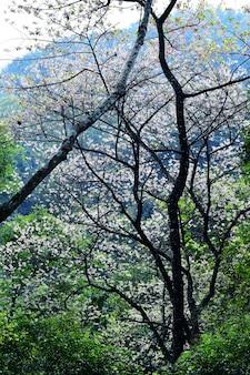 Cerezo del himalaya silvestre y bosque verde