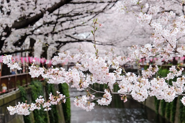 Cerezos en flor en el río meguro