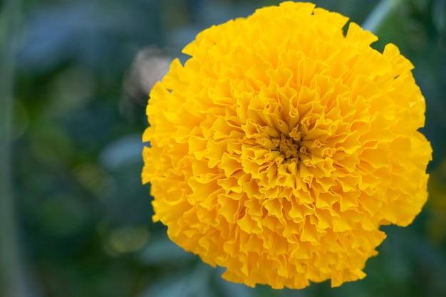 Cerrado color amarillo caléndula fresco y hermoso en el fondo de la naturaleza
