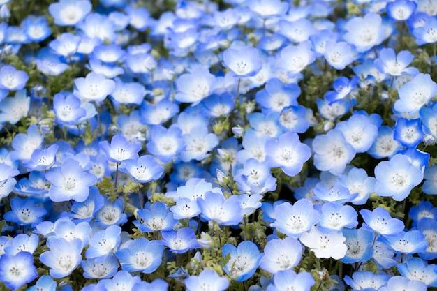Cerrado de fondo de la flor de nemophila (ojos azules)