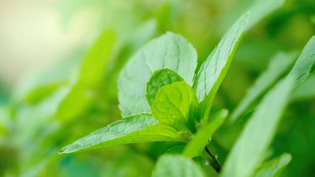Cerrar el árbol de hojas de menta menta menta orgánica