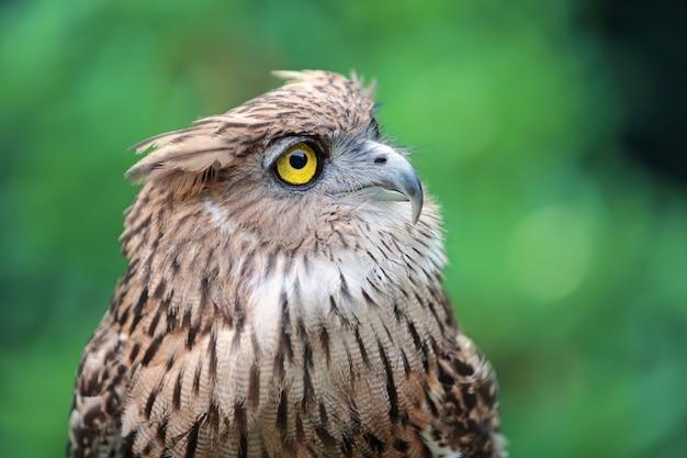 Cerrar buho de águila en la naturaleza