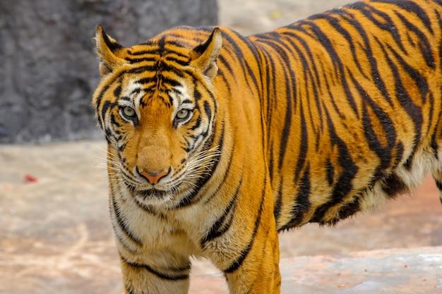 Cerrar cabeza tigre es mirar cámara en piso de cemento en tailandia