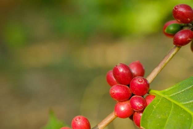 Cerrar café en grano en la naturaleza