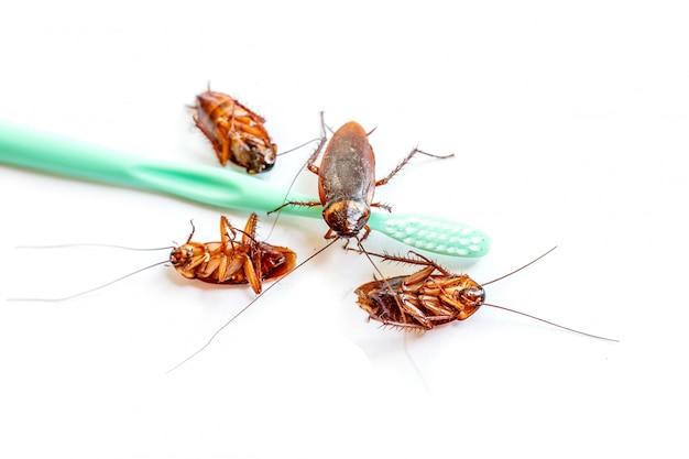 Cerrar la cucaracha tailandia en cepillo de dientes