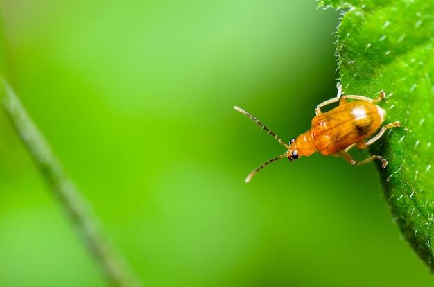 Cerrar cucurbit beetle o aulacophora indica sobre una hoja verde se prepara para volar hacia adelante