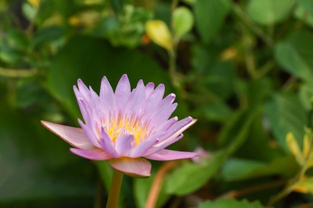 Cerrar flor de loto de color amarillo y morado