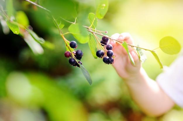 Cerrar la foto del niño pequeño recogiendo grosellas negras en el jardín doméstico